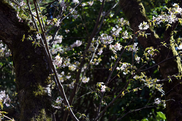 nippon cherries